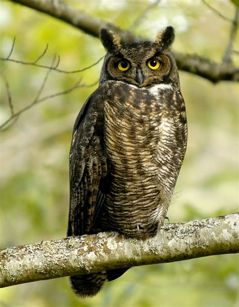 cute wildlife the great horned owl