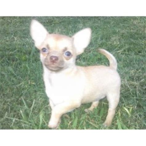 chihuahua puppies nc chihuahua breeders in carolina breeds picture