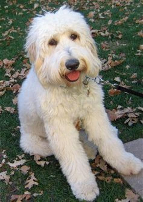 best food for goldendoodle 1000 images about junebug haircut on