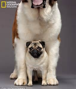 st bernard and pug dazzling diversity of dogs how humans breed their canine companions into amazing