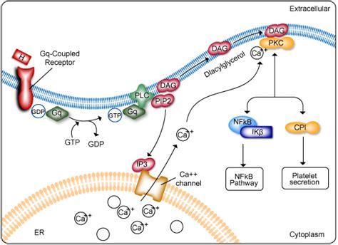 g protein pathway genecopoeia g protein coupled receptor signaling pathway