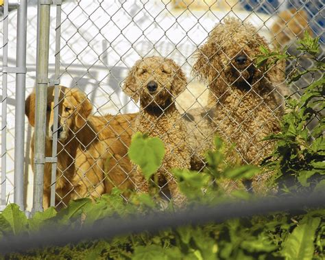 puppy mills in pa pennsylvania complaints continue the morning call
