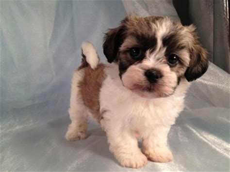 teddy shih tzu bichon puppies the gallery for gt black and white zuchon