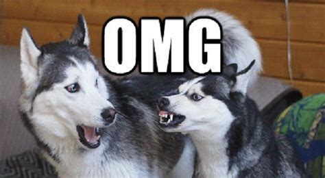 Husky Meme - 14 best husky memes of all time
