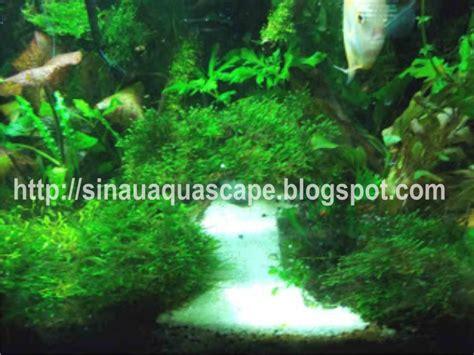 Ram Kawat Ijo menanam java dan peacock moss