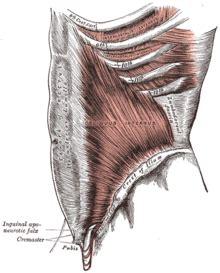 addominali obliqui interni oblique interne de l abdomen wikip 233 dia
