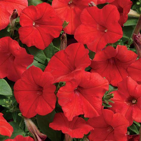easy wave 174 red hybrid petunia seeds