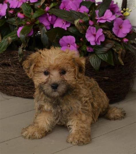 corgi poodle mix puppies for sale 25 best ideas about poodle mix on poodle mix puppies bernese mountain