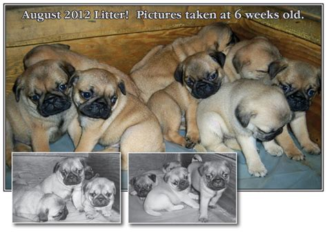 puppies for sale on cape cod pug puppies for sale cape cod massachusetts