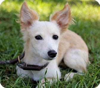 corgi puppies san diego 25 best corgi pomeranian mix ideas on