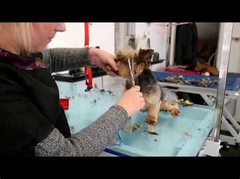 how to groom a yorkie yourself terrier ear trimming doovi