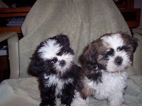 shih tzu puppies colorado yorkie shih tzu shihtzu puppies akc fort colorado