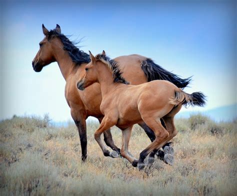 kiger mustang adoption save the horses archives front range equine rescue