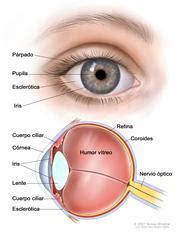 Imagenes De Ojos Por Dentro | de c 243 mo est 225 hecho un ojo por dentro y por fuera ii
