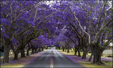 definitive proof that jacarandas are the most beautiful trees