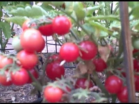 patio tomato best compact tomato to grow in a container on your patio