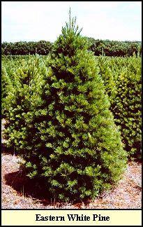 michigan christmas tree association state of maine on