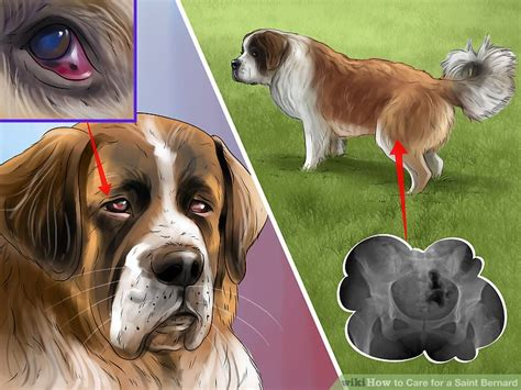 how to a st bernard how to care for a bernard 15 steps with pictures