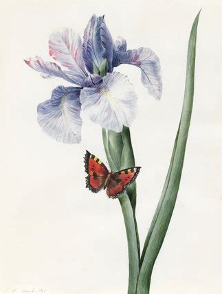 Butterfly Iris Blue T1310 3 blue iris and butterfly spuria by louise d orleans by d orl 233 ans princesse louise at