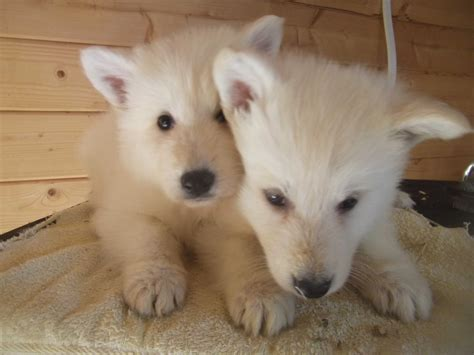 berger blanc suisse puppies two white berger blanc suisse dogs photo and wallpaper beautiful two white berger