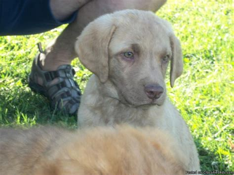 puppies for sale in idaho falls chesapeake bay retriever puppies for sale price 350 00 in idaho falls idaho