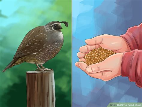 4 ways to feed quail wikihow