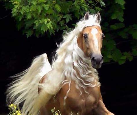 Sho Kuda Mane In horses mane best 2017