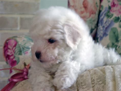 bichon puppies beautiful bichon frise puppies in new germany minnesota breeders of breeds picture