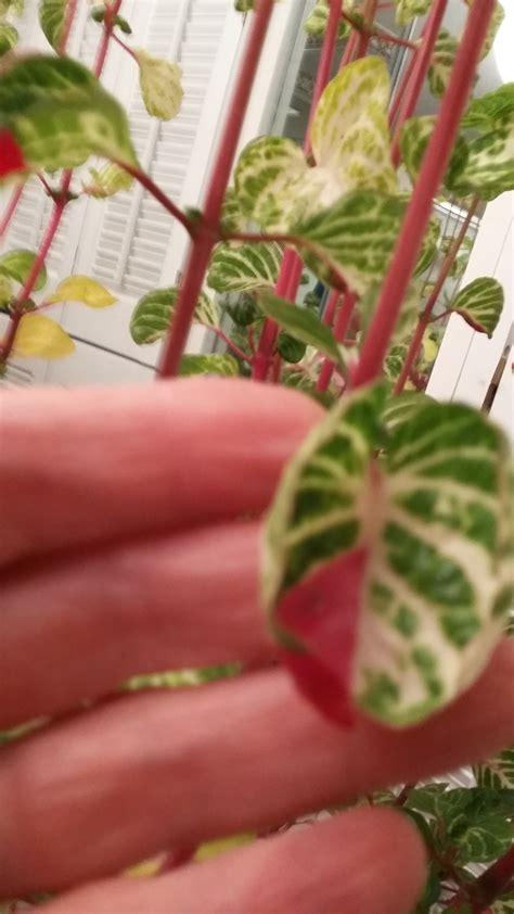 identification please help identify red stemmed green