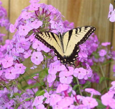 imagenes flores mariposas mariposas cuidado de plantas