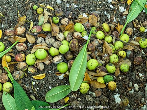 fruits of a poisonous tree minden pictures stock photos manchineel tree hippomane
