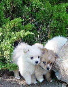 pomeranian puppies for sale in reno nv pomapoo puppies for sale in pa keystone puppies animals