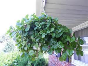 Foliage House Plant Identification - plant identification closed white house plant identification 1 by gitagal