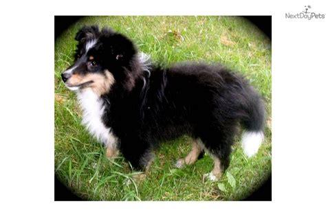 sheltie puppies mn shetland sheepdog sheltie puppy for sale near mankato minnesota d927485b f2b1