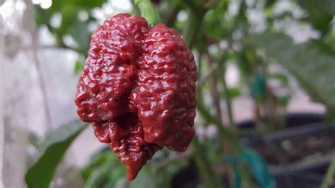 Benih Seed Biji Borg 9 Choco borg 9 chocolate chile 10 seeds refining chiles