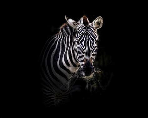 abstract zebra wallpaper zebra wallpaper images wallpaper and free download