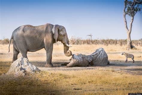 varias imagenes en un div elefanta permanece junto a un amigo muerto por varias