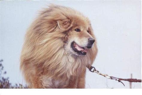 dogs that look like lions nepalese dogs look like lions