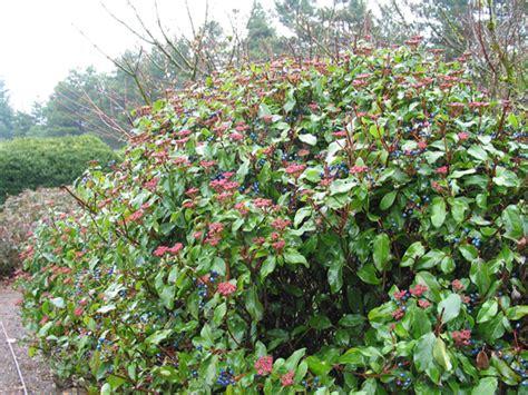 viburnum tinus vaso viburnum tinus lentaggine il giardino delle collezioni