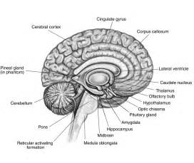parts of the brain diagram labeled sketch coloring page