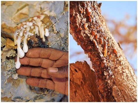 Best Fragrant Plants - myrrh and frankincense travel to eat