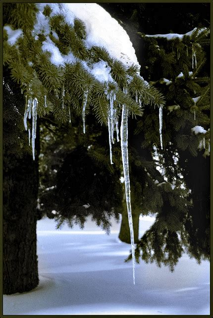 Tree Icicles - beautiful icicles on the tree winter