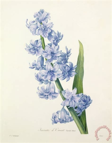 pierre joseph redoute hyacinth painting hyacinth print
