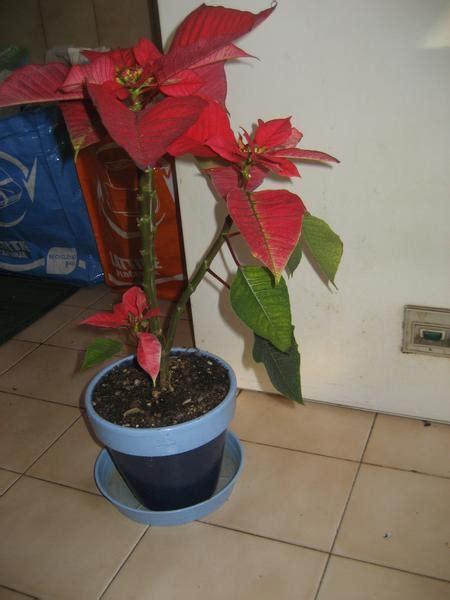 stella di natale come farla fiorire stella di natale ha caldo forum di giardinaggio it