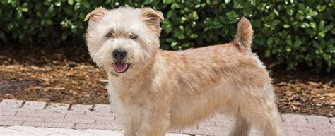 glen  imaal terrier dog breed profile petfinder