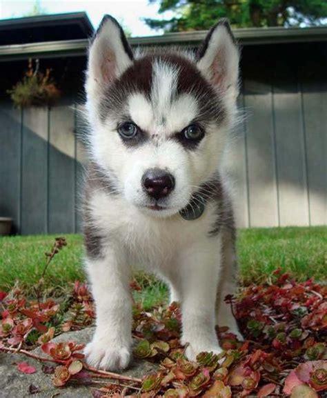 cheap siberian husky puppies loki the siberian husky puppies daily puppy