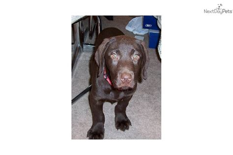 chocolate lab puppies for sale in illinois labrador retriever puppy for sale near chicago illinois acc307e5 1a11