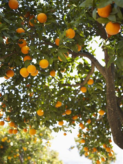 water  fertilize orange trees home guides sf