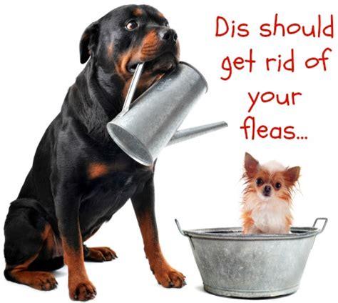 pug skin problems home remedies flea allergies in dogs flea allergy dermatitis