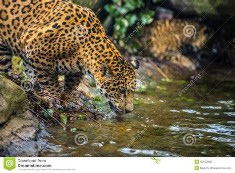 imagenes de la jaguar jaguar en la selva foto de archivo imagen 36152960